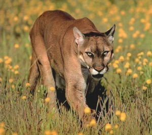 Animal Facts on Cougar Facts