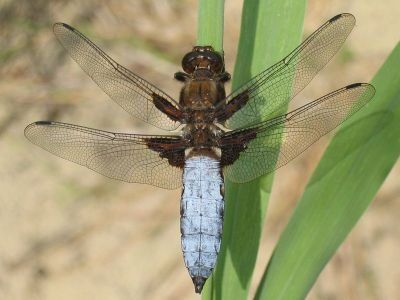 Dragonfly Information