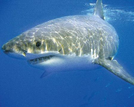 Great White Shark Reproduction | Great White Shark Reproduction